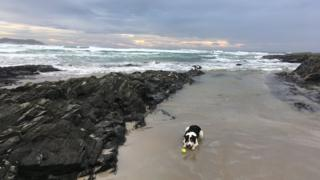 Tam the collie dog enjoying a windy winters day on machair bay Isle of Islay
