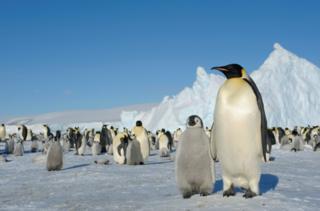 ฝูงเพนกวินจักรพรรดิบนเกาะสโนว์ฮิลล์ ในมหาสมุทรแอนตาร์กติก