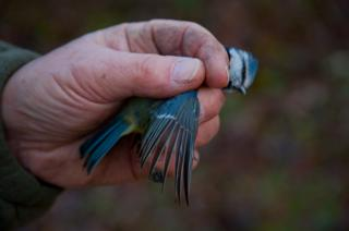 science Blue tit wing age 3