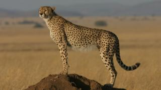 An adult cheetah
