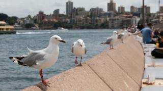 Seagulls outward Sydney Opera House