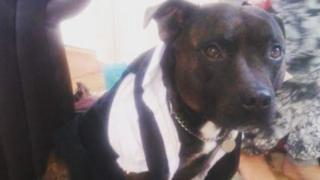 Teddy, the Staffordshire bull terrier