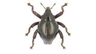 Trigonopterus yoda: Kumbang hijau mengkilat yang dinamakan karakter Stars Wars.
