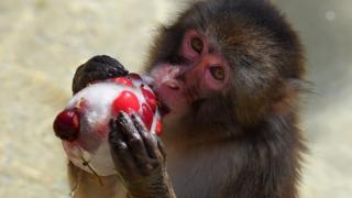 A monkey eats iced cherries to cool off at the Rome zoo