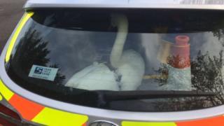 Swan in police car