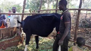 Yohani Bumwe ahagaze iruhande y'inka ya kijambere aherutse kuronka