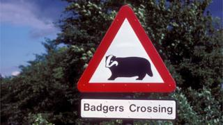 badger crossing road sign
