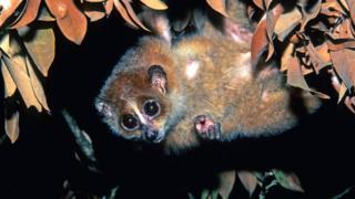 Малый (карликовый) лори (Nycticebus pygmaeus)