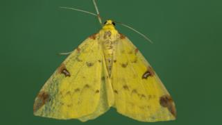 Nature crisis: Moths have 'secret role' as crucial pollinators thumbnail