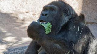 Vila Gorilla eating kale