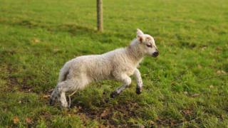 A lamb leaping around a field