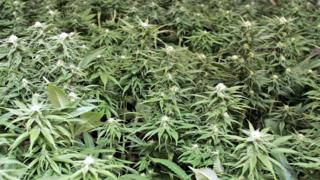 Cannabis plants (generic picture)