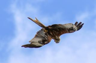 A red kite spotted over Abingdon