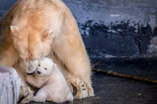 Polar bear cub seen with its mother