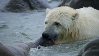 北极熊撕咬海象