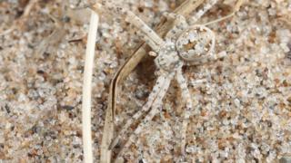 Sand running spider