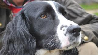 Bella the springer spaniel