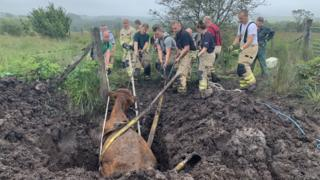Llanwrtyd Wells dairy cow pulled free from bog