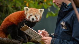 Red Panda cub called Hong