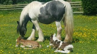 Image of the mother called Blue with her two foals named Harry and Meghan