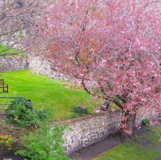 Cherryblossom in the garden at Dumbarton Castle & Rock