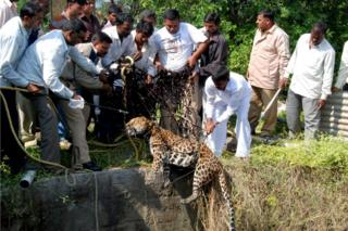 A leopard was tranquilised and then pulled out of a well with a net in Nashik in December 2010