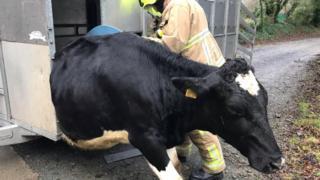 Cow stuck in trailer