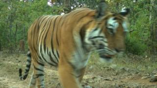 تتزايد أعداد النمور في الهند.