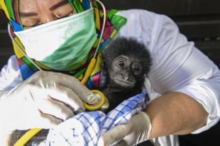 د اندونیزیا په بند آچه ولایت کې یو طبیعت ساتونکې یوه دوه میاشتنۍ بیزو له داسې کلي ژغورلې چې د حیواناتو د سوداګرۍ شک پرې کېږي.