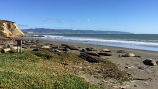 Elephant seals on Drakes Beach