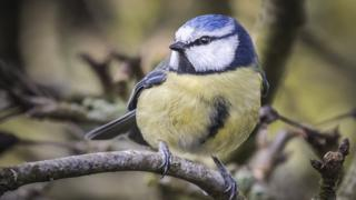 Brian Chiver's picture of a blue tit