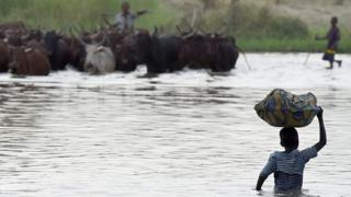 Herdsmen and cows inside water