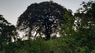Mti wa usuluhishi una miaka 80 na unapatikana huko Mwika Kilimanjaro Kaskazini Tanzania