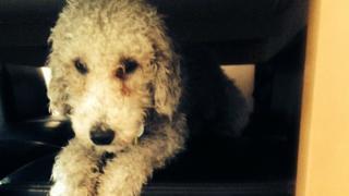 Bedlington Terrier, Mila