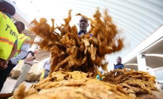 A worker checks on a tobacco crop at the official opening of the 2017 tobacco selling season at the Boka Auction Floors in Harare, Zimbabwe, 15 March 2017.