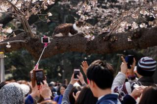 Personas toman fotografías de un gato sentado en la rama de un cerezo en un parque de Tokio, Japón, 30 marzo 2017.