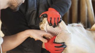 A vet examining a cow