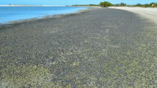 A photograph showing a white beach covered with millions of black snails, next to a bright blue sky and sea.