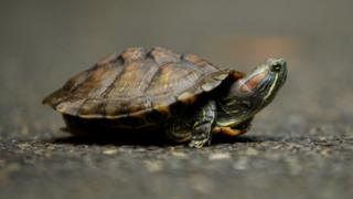 A red eared slider turtle sits on asphalt - it has marbled green skin with a red patch on its neck