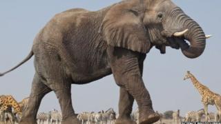 Tembo ndio mnyama anayewindwa sana nchini Tanzania