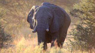 An elephant kicks up dust outside Kingspool Luxury Safari Camp in the Okanvango Delta on June 18, 2010