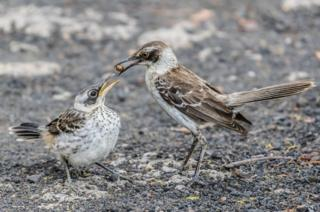 Galapagos mockingbird feeding its chick