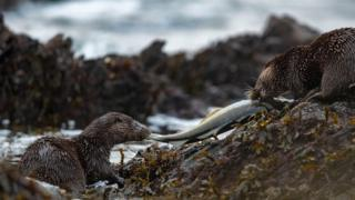 Two otters sharing a fish