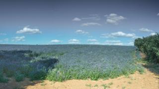 Linseed fields, Sibford Ferris