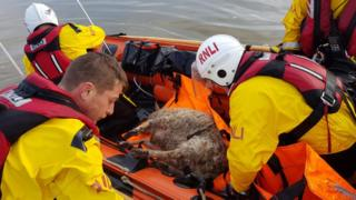 A rescued sheep in a boat