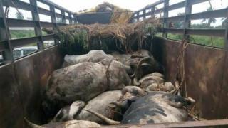 Dead cows inside trailer