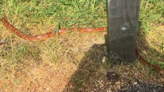 Corn snake found in grass on a street in Cambridge