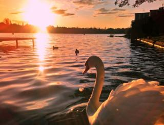 A swan swimming by a jetty at sunset
