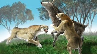 The European sabre-toothed cat was about the size of a modern tiger or lion