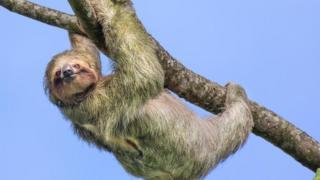 Bicho-preguiça pendurado em galho